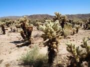 Cactus at Joshua Tree National Park