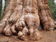 General Shermnn tree in Sequoia National Park