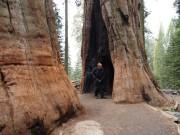 Motorcyclist inside General Shermann tree